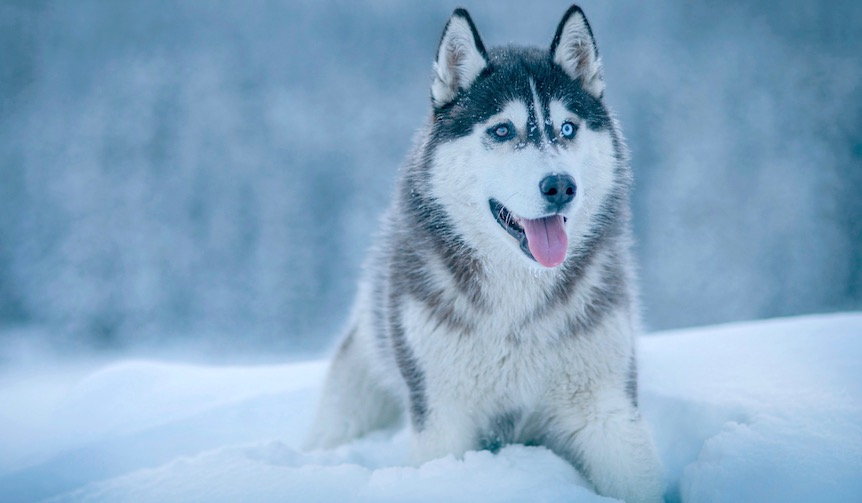 シベリアンハスキーってどんな犬?オッドアイ、ミックス犬、知られざる魅力に迫る!